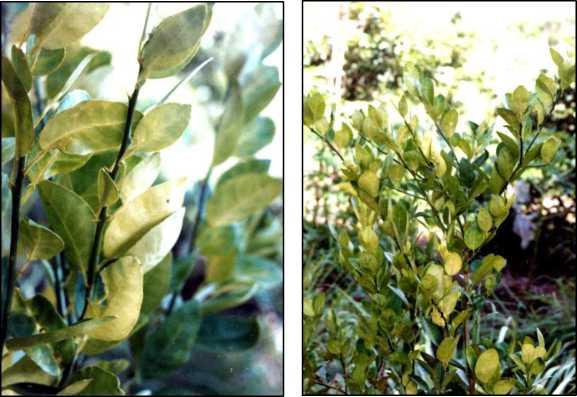 Hình 1: Triệu chứng vàng lá do thiếu đạm trên lá cây có múi