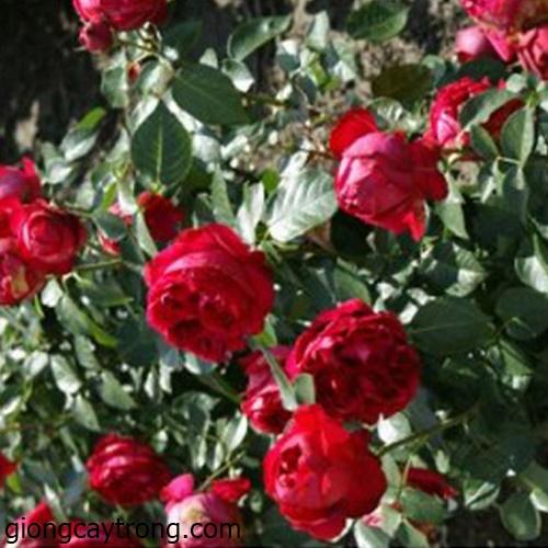 89d5be.red-eden-rose-3