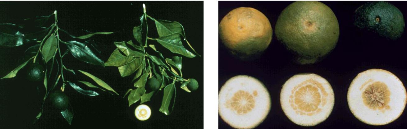 Hình 5: Triệu chứng thiếu Boron (Bo) trên lá và trái