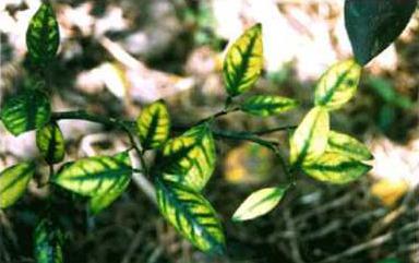 Hình 4: Triệu chứng vàng lá gân xanh do thiếu kẽm trên cây có múi