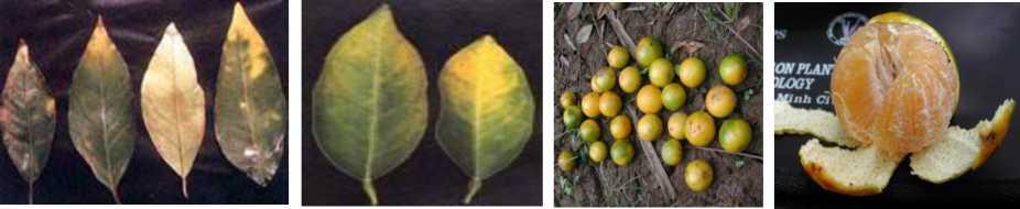 Hình 3: Các triệu chứng thiếu hụt Kali trên lá và trái cây có múi