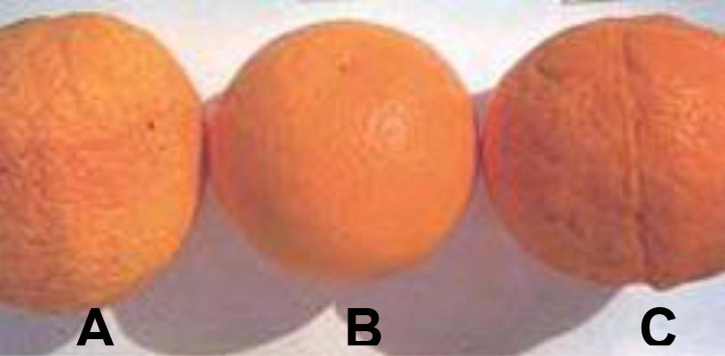 Hình 2 (a): Các quả cam trên bên trái (A) và phải (C) được bón mức độ cao nitơ và thiếu hụt phốt pho (quả méo mó và vỏ thô. Quả ở giữa (B) được bón cân đối và đầy đủ Nitơ và Phốt pho