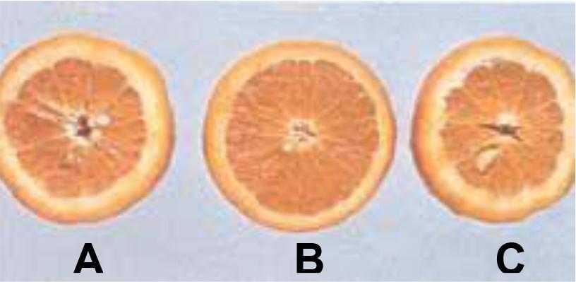 Hình 2 (b): Hai quả bên ngoài (A) và (C) cho thấy phần vỏ cùi dày lên, lõi rỗng và tép quả thô. Quả ở giữa (B) có vỏ và cùi mỏng lõi đặc, tép mọng nước do được bón đầy đủ và cân đối Phốt pho và Nitơ