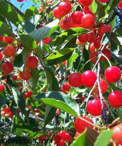cay-cherry