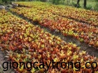 cay-vang-anh1