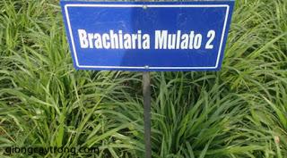 co-mulato-II