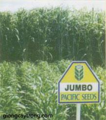 co-sweet-jumbo1