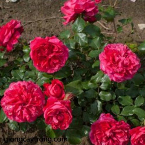 e68824.red-eden-rose-4