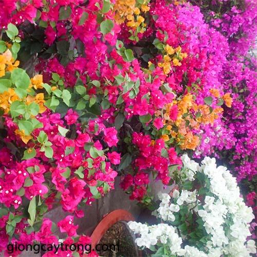 hoa-giay-trong-ban-cong