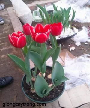 hoa-tuylip2