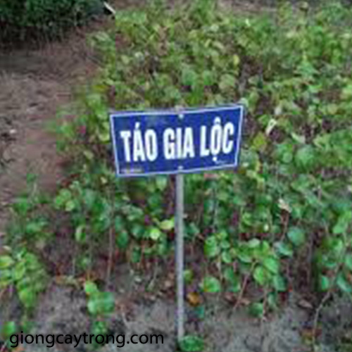 tao-chua-gia-loc2