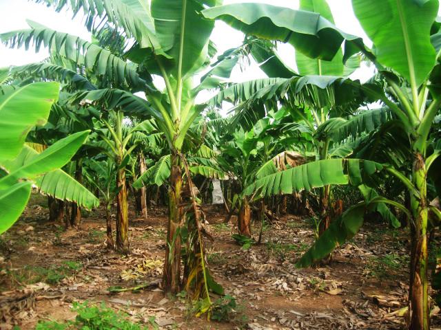 Chuối là loại cây dễ trồng, yêu cầu về đất không quá nghiêm khắc