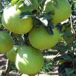 Kỹ thuật trồng và chăm sóc cây bưởi da xanh