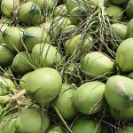 Quy trình kỹ thuật chăm sóc cây dừa xiêm