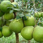 Quy trình chăm sóc cây bưởi năm roi