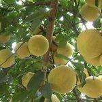 Chăm sóc và dinh dưỡng cho cây bưởi đỏ Tân Lạc
