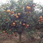 Chăm sóc và dinh dưỡng cho cây cam đường canh