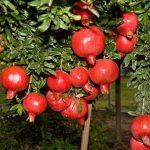 Dinh dưỡng, chăm sóc cây lựu đỏ