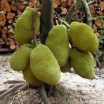 Dinh dưỡng cho cây mít Thái