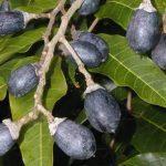 Dinh dưỡng và chăm sóc cho cây trám đen