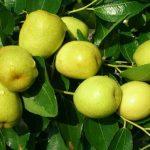 Bón phân và phòng trừ sâu bệnh cho táo đào vàng